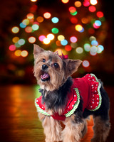 Christmas themed Yorkie pet portrait with digital backdrop