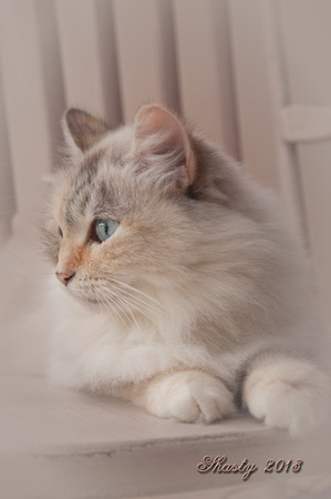 Shasty- a Russian Siberian cat portrait